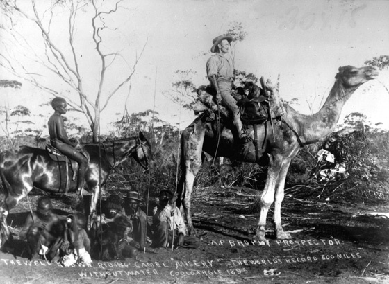A.P. Brophy prospector, the well known riding camel 'misery', the world's record 600 miles without water, Coolgardie 1895.jpg