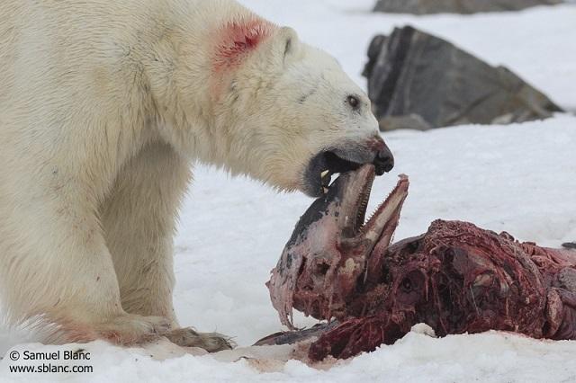 polar-bear-dolphin-samuel-blanc_s.jpg