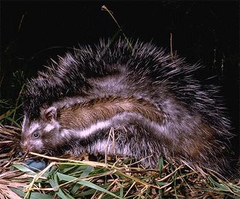 rat4_Kevin Deacon_wiki.jpg