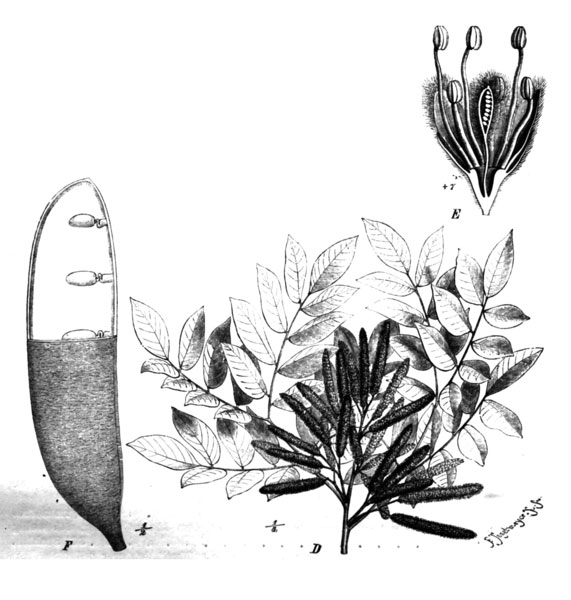 2-Erythrophleum_suaveolens_.jpg