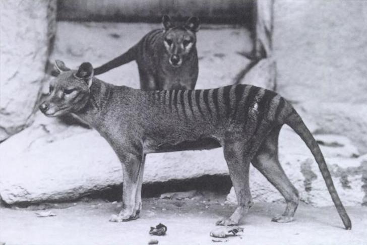 washington DC national zoo_Baker_Keller_Thylacinus.jpg