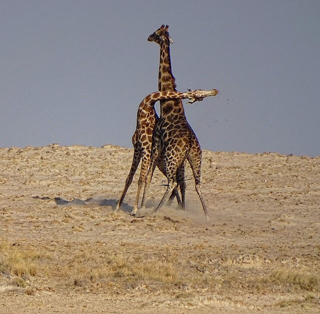 Giraffe-Necking-Etosha_Bjørn Christian Tørrissen.JPG