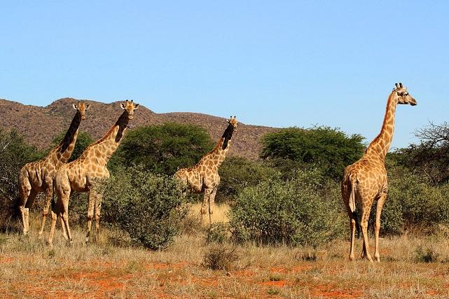 Giraffe_(Giraffa_camelopardalis)_femalesCharlesjsharp.jpg