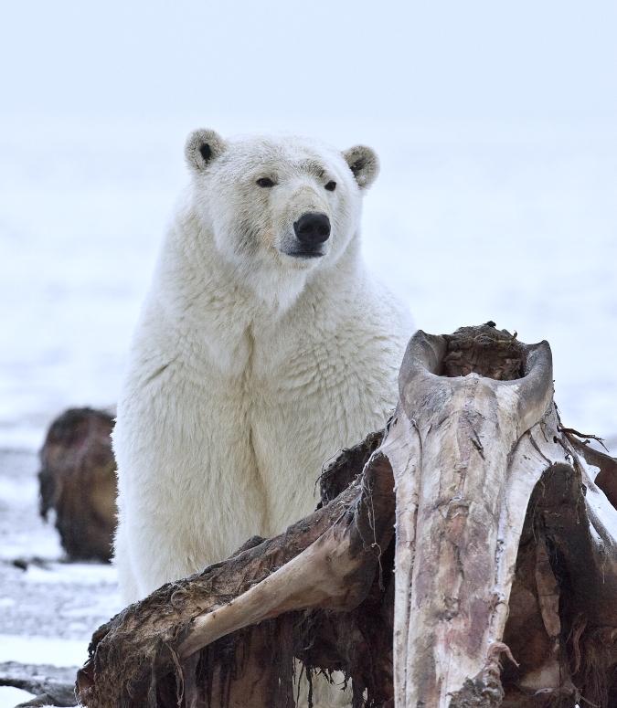 Alan D. Wilson_Polar_Bear_ANWR_10.jpg