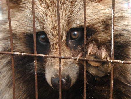 Raccoon_dog_12.jpg