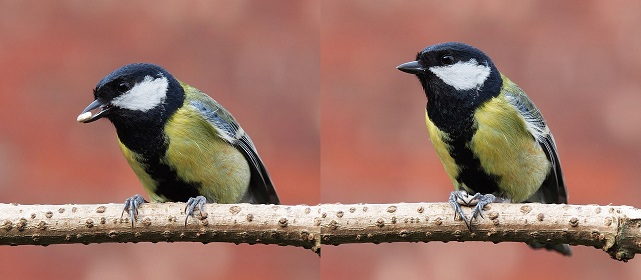g3_Baresi franco _Great_tit_feeding.jpg
