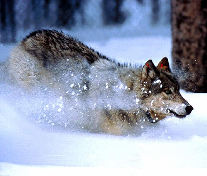 704px-Wolf_im_Yellowstone_Nationalpark.jpg