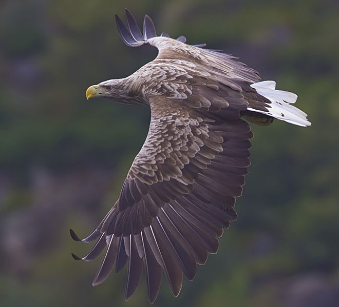 Yathin sk_660px-White-tailed-eagle.jpg
