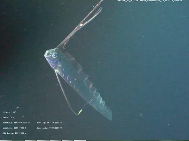 oarfish1-4.jpg