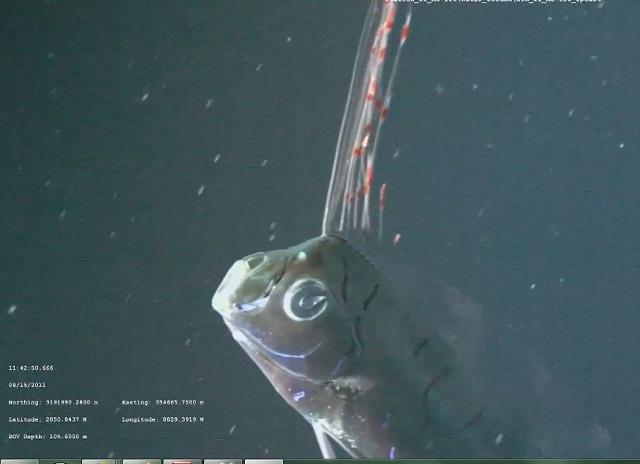 oarfish1-6.jpg