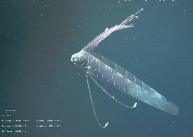 oarfish1-9.jpg