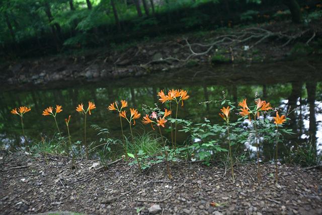 백양꽃 자생지.jpg