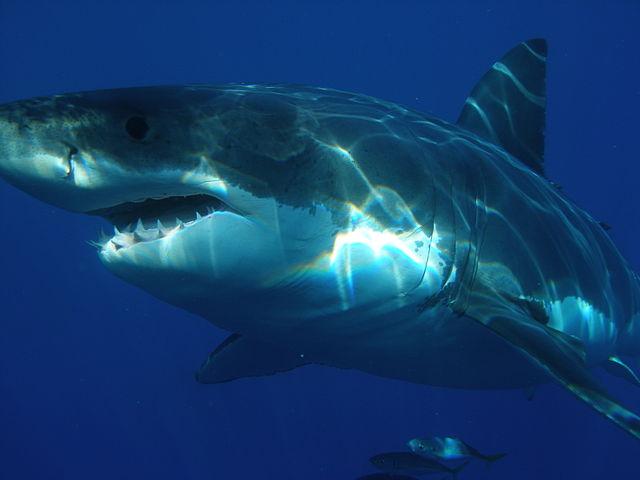 Sharkdiver_com.jpg