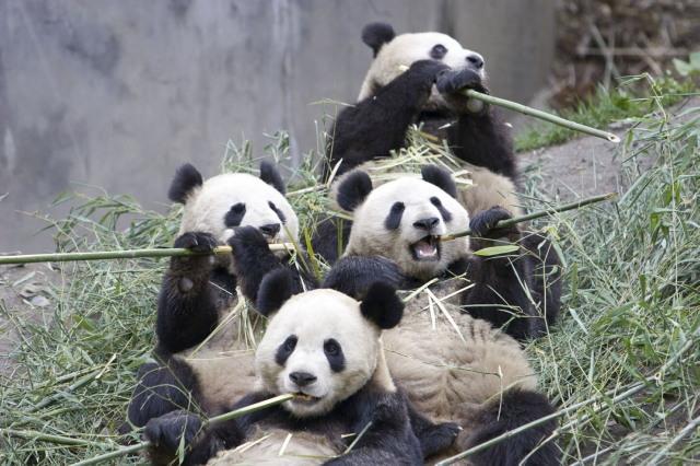 panda_4.jpg