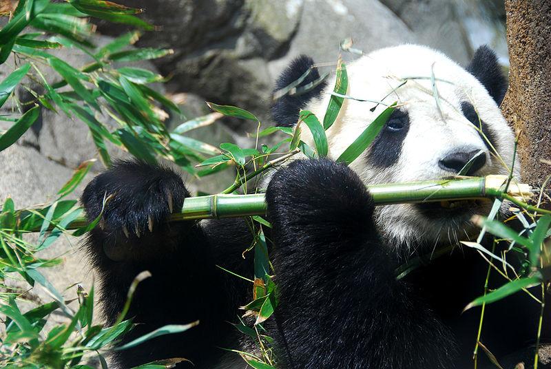 panda_taishan.JPG