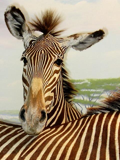 st3_Zebra_resting_its_muzzle_on_another_zebra's_back.jpg
