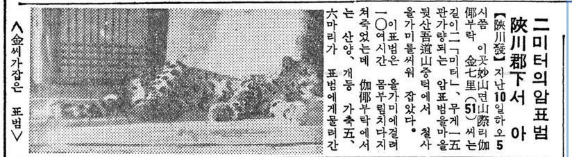 표범_동아_1963_11_13.jpg