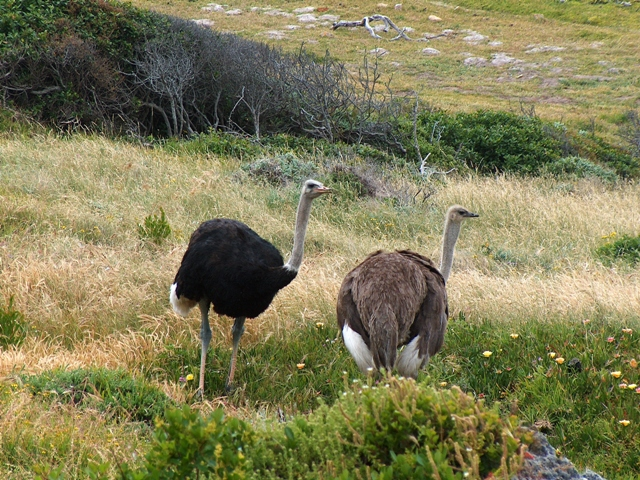 Ostriches_cape_point.jpg