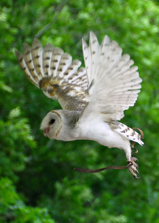 Richard Fisher_547px-Barn_Owl_in_flight_at_Lone_Pine_Koala_Sanctuary.jpg