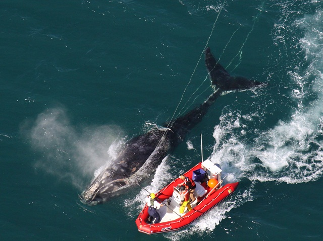 whale_North Atlantic right whales_rightwhale_entangled_ecohealthalliance_permit932-1905.jpg