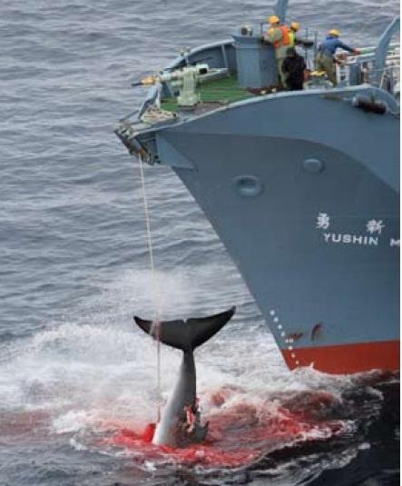 whale_whaling.jpg