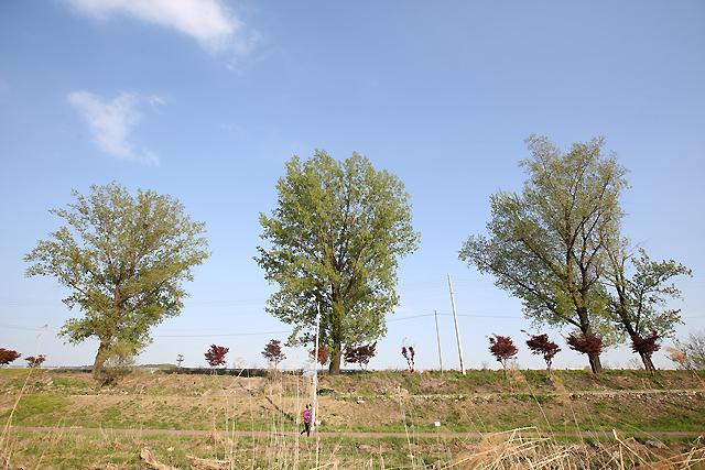 미루나무.jpg