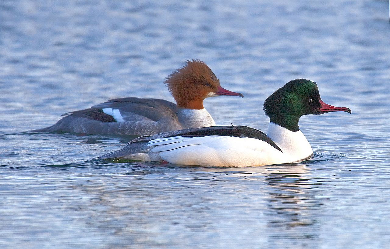 Bengt Nyman_Mergus_merganser,_female_and_male,_Vaxholm,_Sweden.jpg