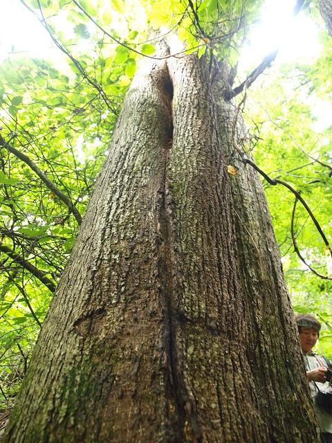 들메나무 120.jpg