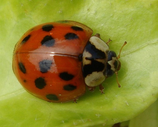 746px-Harmonia_axyridis_from_above.jpg