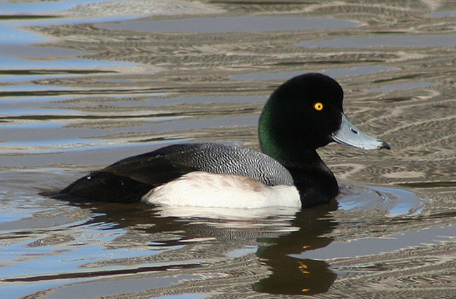 사본_Greater_scaup_male-4.jpg