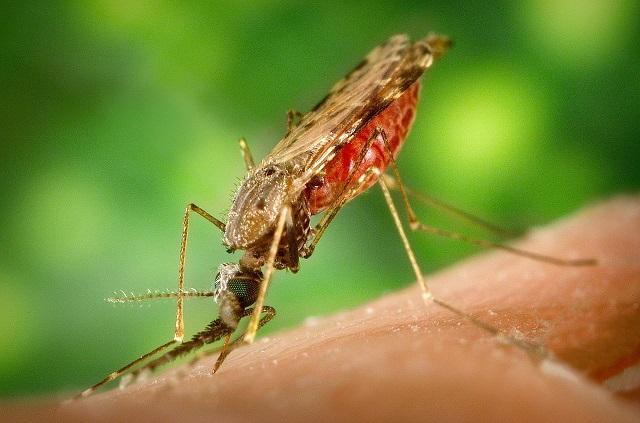 mos3_James Gathany _CDC_1280px-Anopheles_albimanus_mosquito.jpg