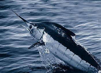 NOAA - Gardieff S_Atlantic_blue_marlin.jpg