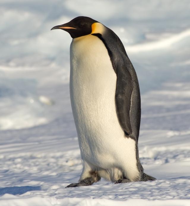 Samuel Blanc._Emperor_Penguin_Manchot_empereur.jpg