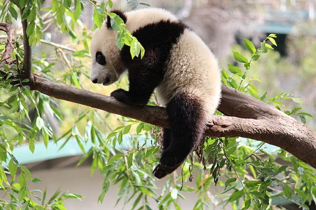 640px-Xiao_Liwu_im_San_Diego_Zoo_-_Foto_1.jpg