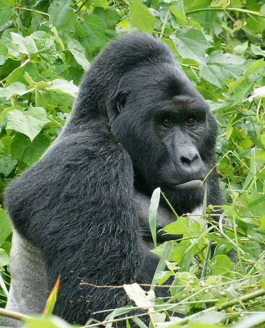 Fiver Löcker_800px-Gorillas_in_Uganda-1,_by_Fiver_Löcker_s.jpg
