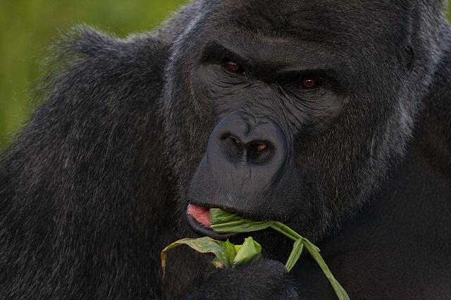 Jackhynes _Western_lowland_gorilla_(Gorilla_gorilla_gorilla)_closeup_eating.jpg