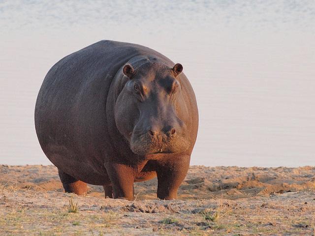 hippo2_Gusjer -800px-Hippo_at_dawn.jpg