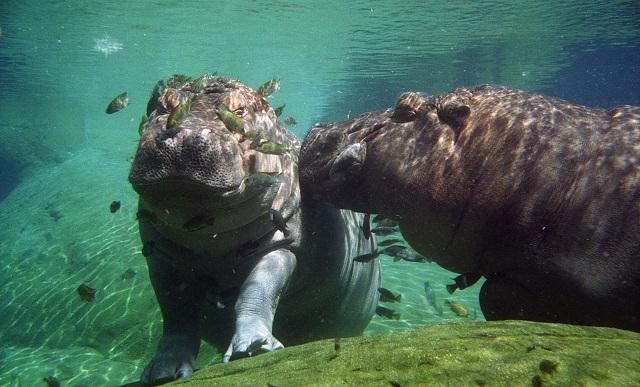 hippo4_Brian Snelson -Hippopotamus_amphibius_-San_Diego_Zoo,_California,_USA_-under_water-8a.jpg