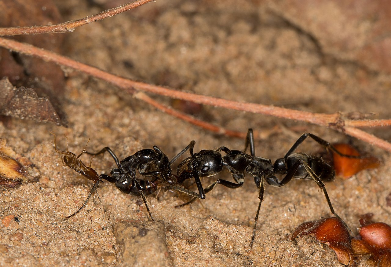 1280px-Megaponera_injured_ant_investigated.jpg