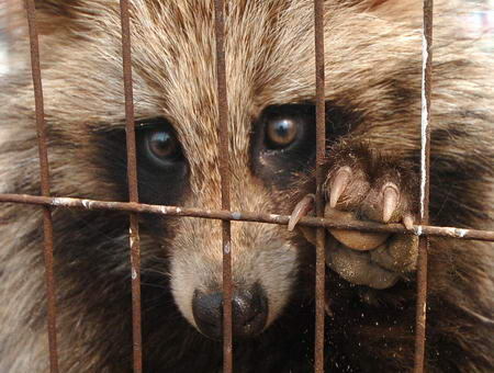 Raccoon_dog_12.jpg