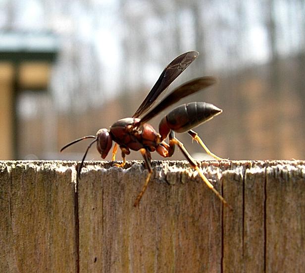 Metricus_Paper_Wasp_(Polistes_metricus)_at_trailhead_-_Flickr_-_Jay_Sturner.jpg