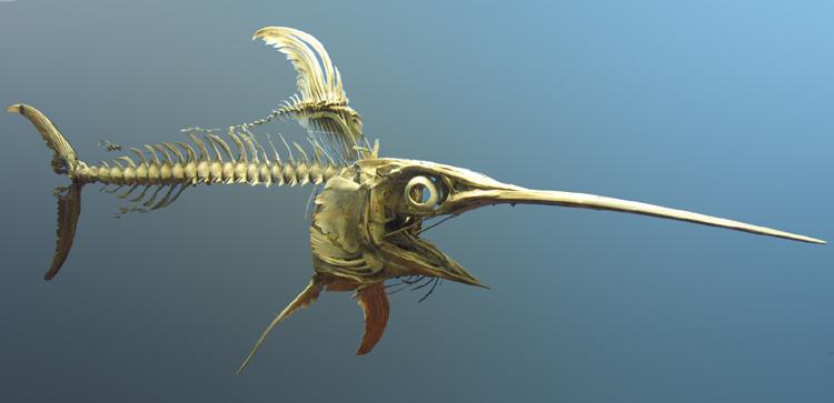 GFDL_Swordfish_skeleton.jpg