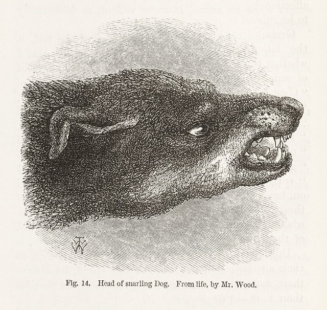 Snarling_dog_from_Darwin's_Expression_of_Emotions...._Wellcome_L0049522-1.jpg