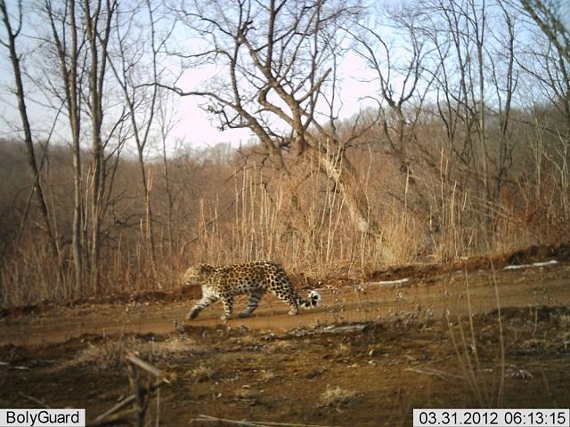 amur-leopard2.jpg