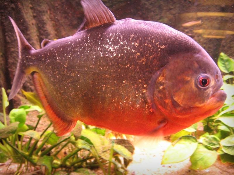 piranha2.jpg