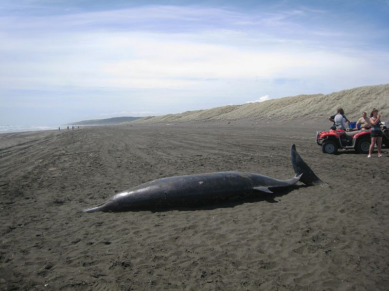 800px-Beached_whale_(Mesoplodon_grayi)_at_Port_Waikato.jpg