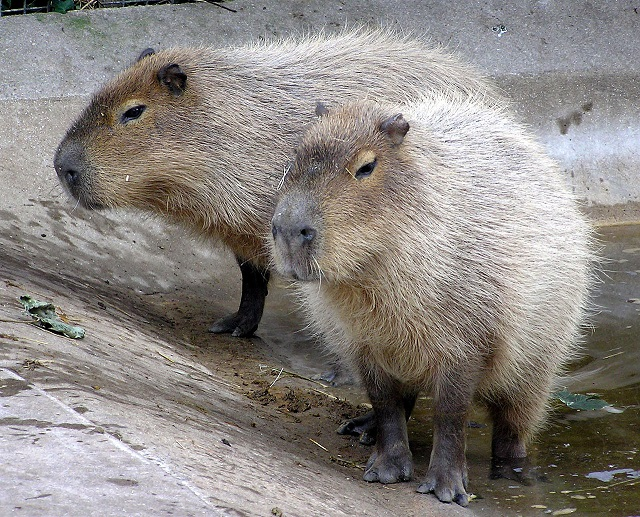 Adrian Pingstone_1280px-Bristol_zoo_capybara_arp.jpg