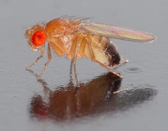 Drosophila_melanogaster_-_André Karwath aka.jpg