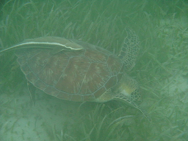 Angelaponte_640px-Sea_turtle_and_remora.jpg