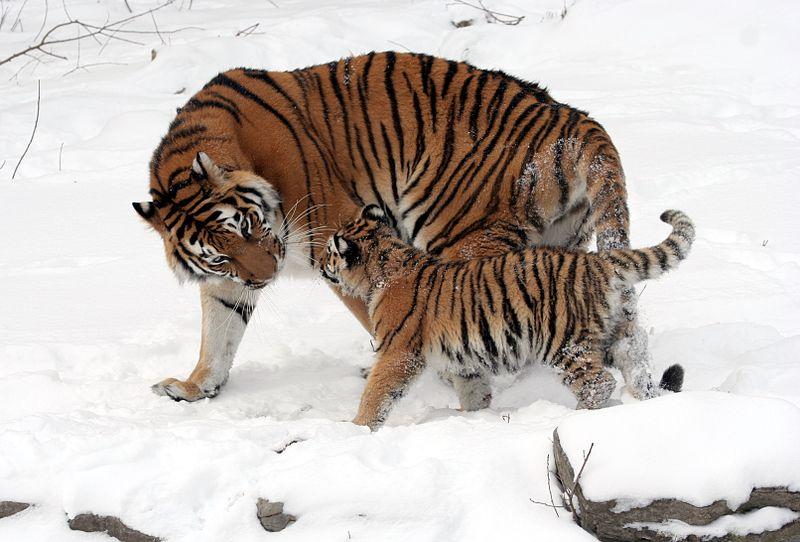800px-Panthera_tigris_altaica_13_-_Buffalo_Zoo.jpg